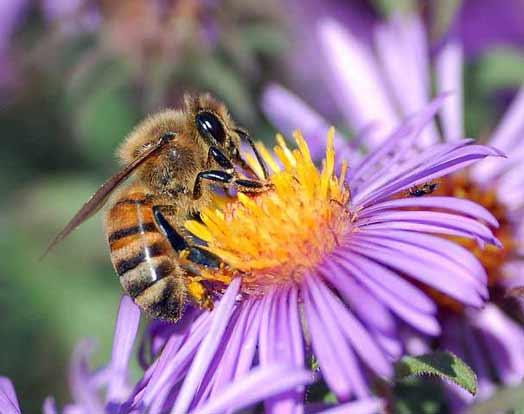 European_honey_bee1