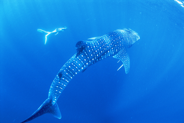 exmouth-wa-whale-shark-swimming.jpg