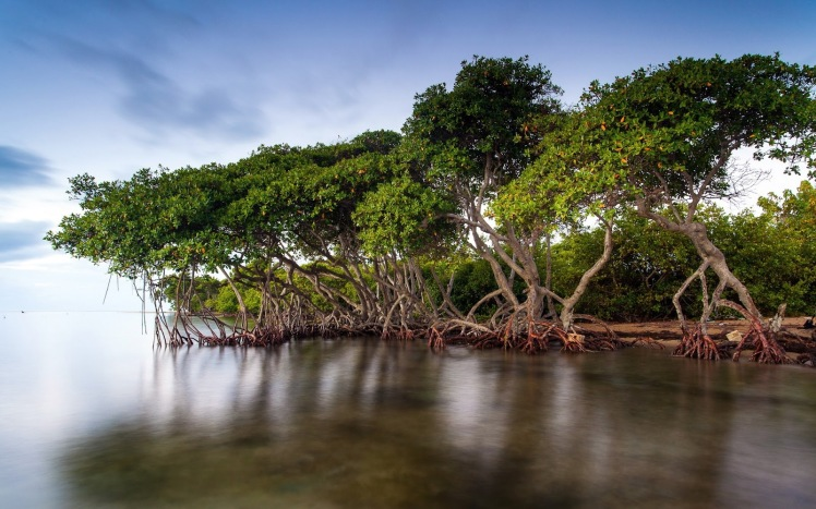 mangrov  ormanı.jpg