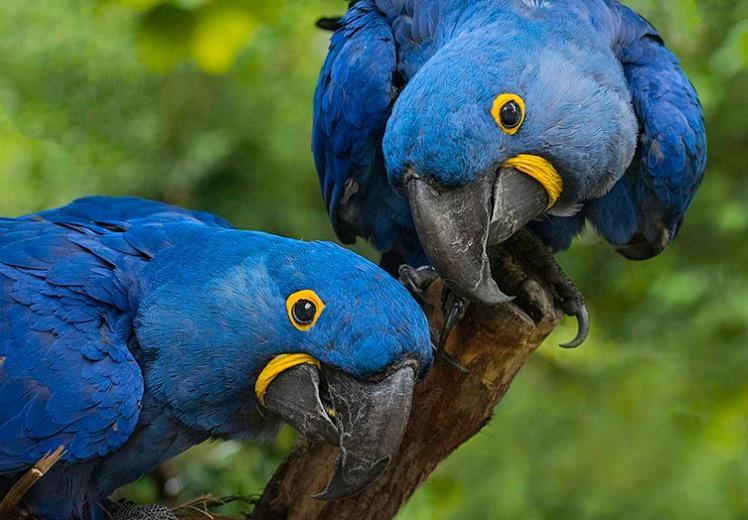 hyacinth-macaws-two-column.jpg